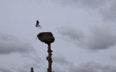 Wyczyszczone gniazdo bocianie w Gwieździnie ma już swoich lokatorów